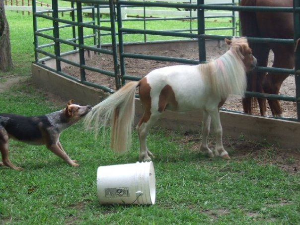 dog pulling pony tail